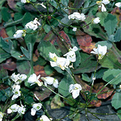 Alpine Rock Cress