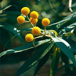 Orange Ball Tree