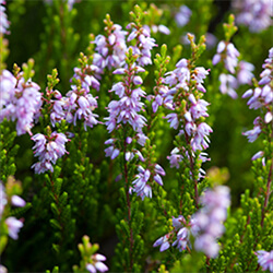 Heather Variety (Autumn Flowering)