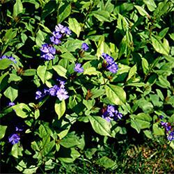 Hardy Blue-flowered Leadwort