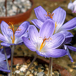 Crocus (autumn-flowering Types)