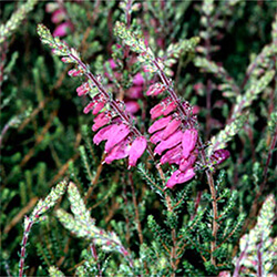 Dorset Heath