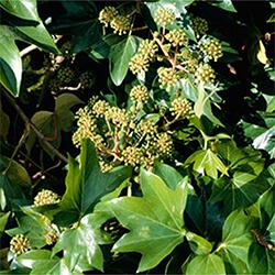 Tree Ivy Hybrid