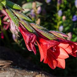 Gladiolus Variety
