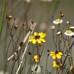 Cucumberleaf Sunflower