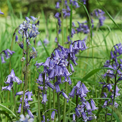 Bluebell (Except Spanish Bluebell)