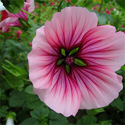 Large-flowered Mallow Wort