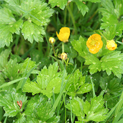 Creeping Buttercup