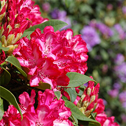 Rhododendron Variety