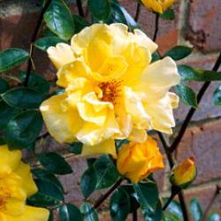 Rose 'Golden Showers'