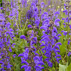 Meadow Clary