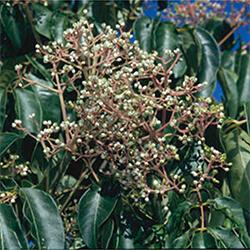 Bee-bee Tree