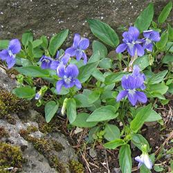 Heath Dog Violet