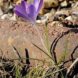 Crocus (winter-flowering)
