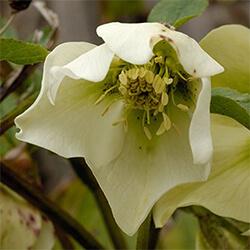Hellebore Variety (spring-flowering)