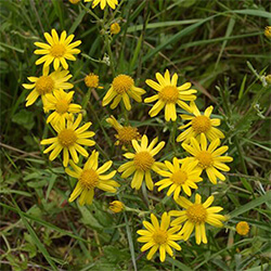 Common Ragwort