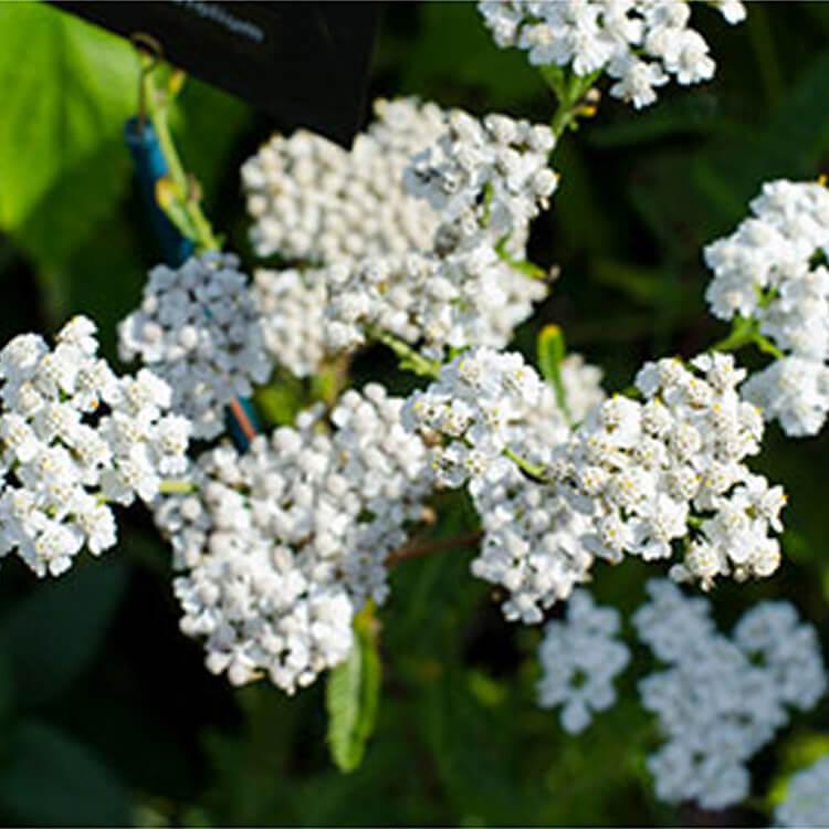 Achillea-millefolium.-Common-Yarrow.-RHS.jpg