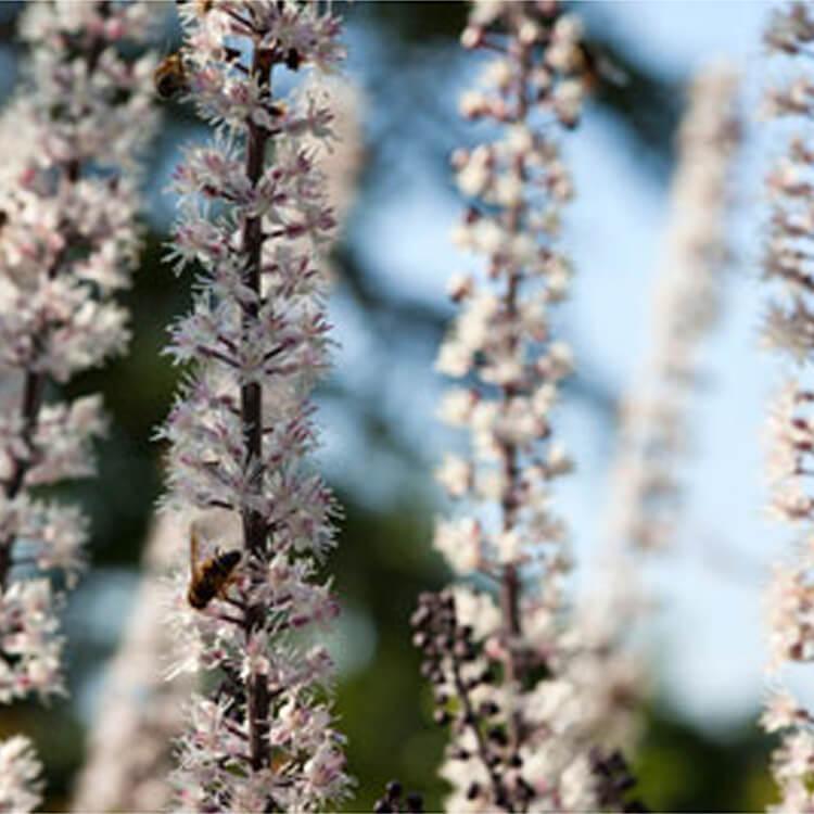 Actaea-simplex.-simple-stemmed-bugbane.-RHS.jpg