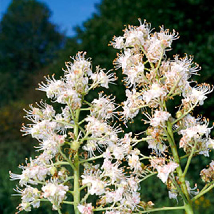 Aesculus-hippocastanum.-Horse-chetnust.-RHS.jpg