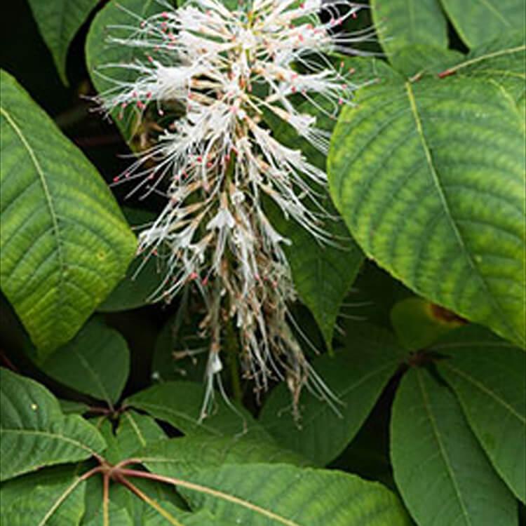 Aesculus-parviflora.-bottlebrush-buckeye.-RHS.jpg