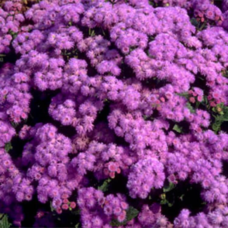 Ageratum-houstonianum.-Flossflower.-RHS.jpg