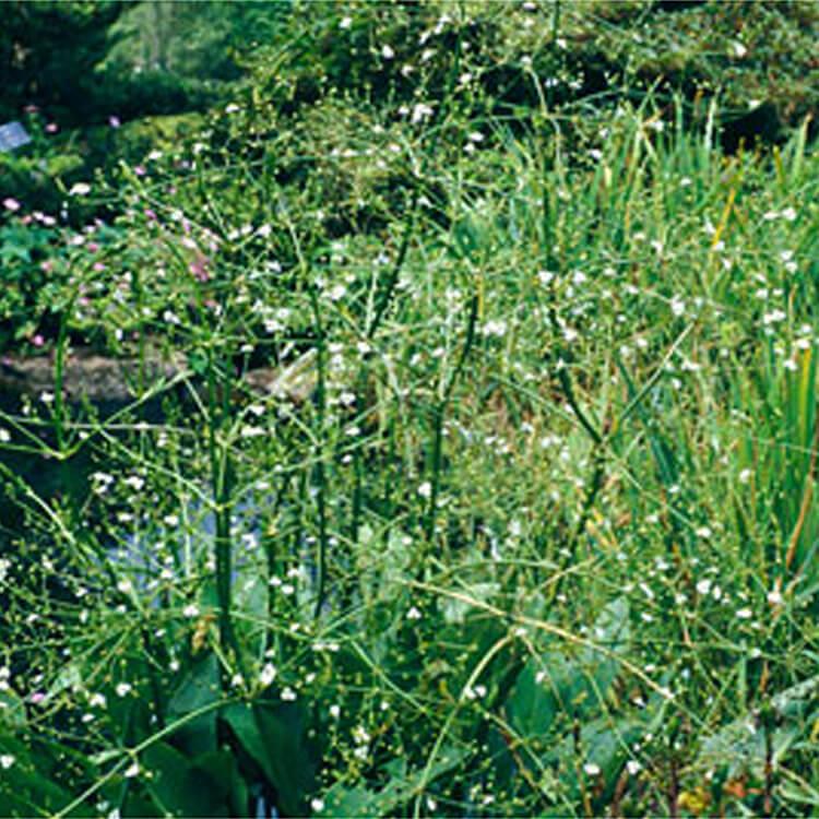 Alisma-plantago-aquatica.-Water-plantain.-RHS.jpg