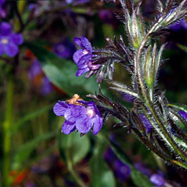 Anchusa-azurea.-Large-blue-alkanet.-RHS.jpg