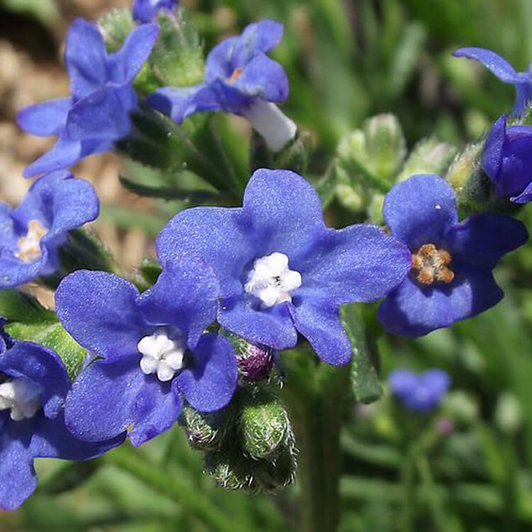 Anchusa-capensis-Cape-Alkanet-Wikimedia-commons-FREE.jpg
