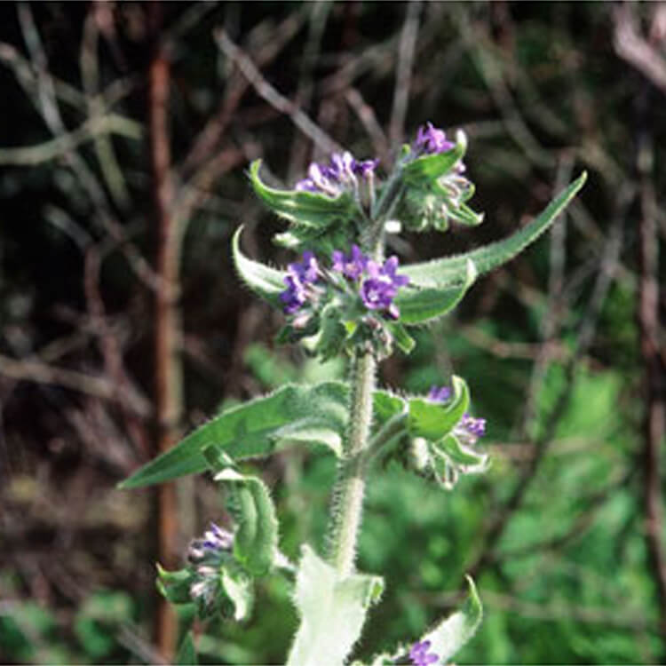 Anchusa-officinalis.-Common-Bugloss.-RHS.jpg