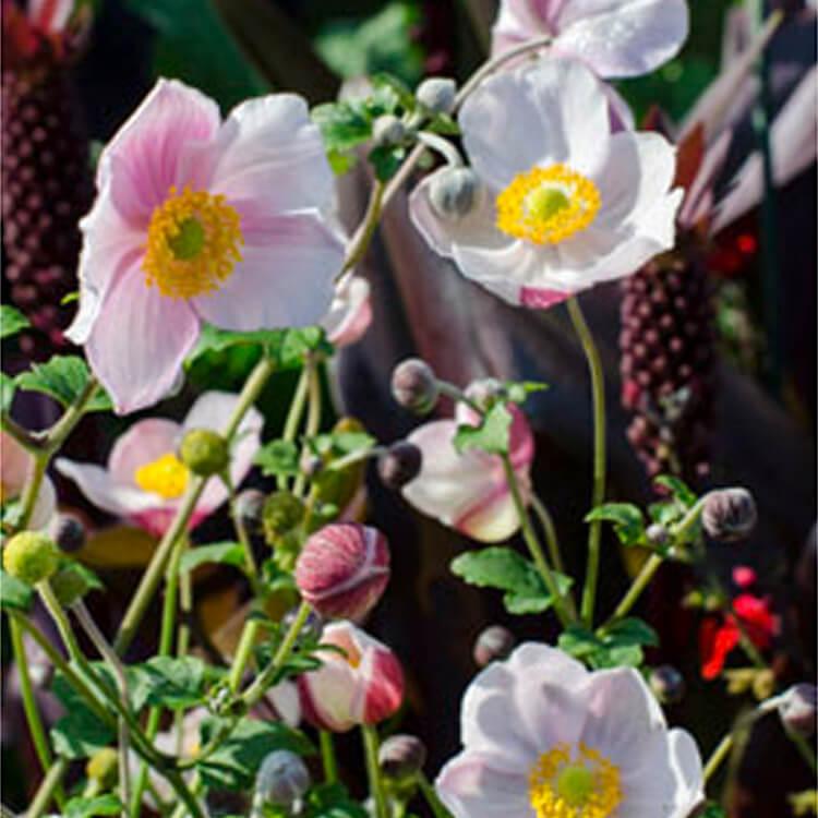 Anemone-hupehensis.-Chinese-anemone.-RHS.jpg