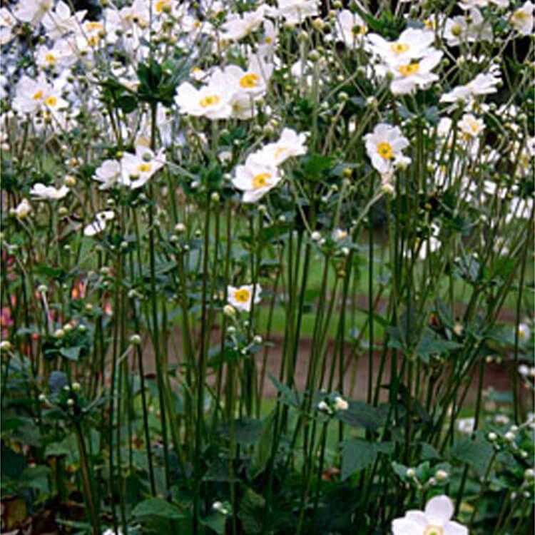 Anemone-hybrida-Japanese-anemone.jpg