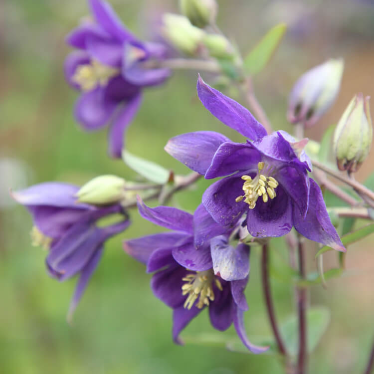 Aquilegia-species.jpg