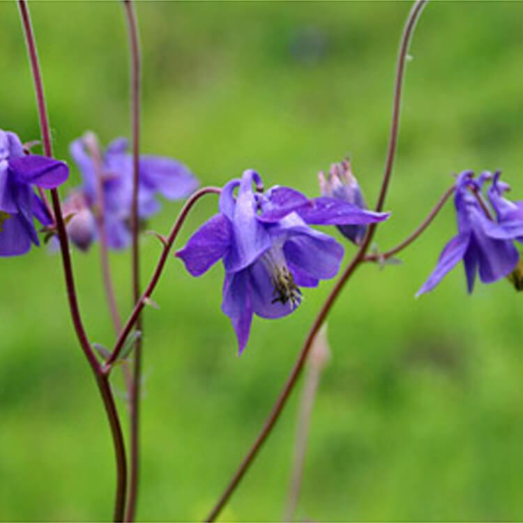 Aquilegia-vulgaris.Common-columbine.-RHS.jpg