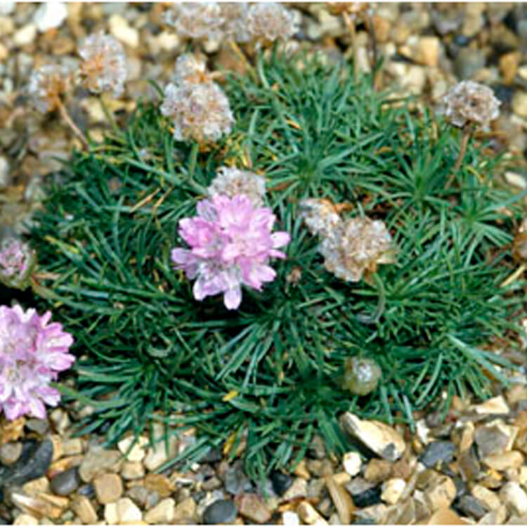 Armeria-juniperifolia.-Juniper-leaved-thrift.-RHS.jpg
