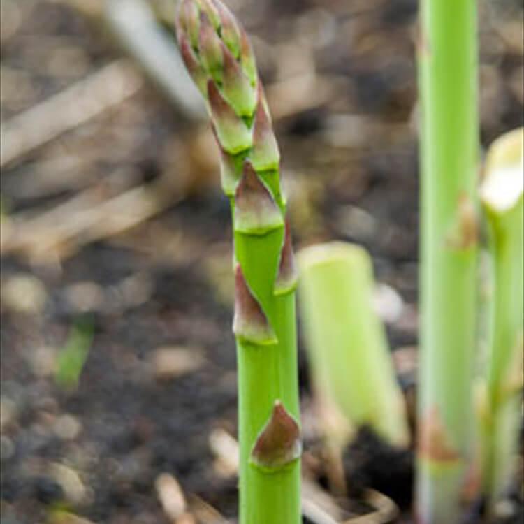 Asparagus-officinalis.-Common-asparagus.-RHS.jpg