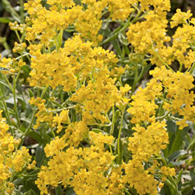 Aurinia-saxatilis.-Gold-dust.-RHS.jpg
