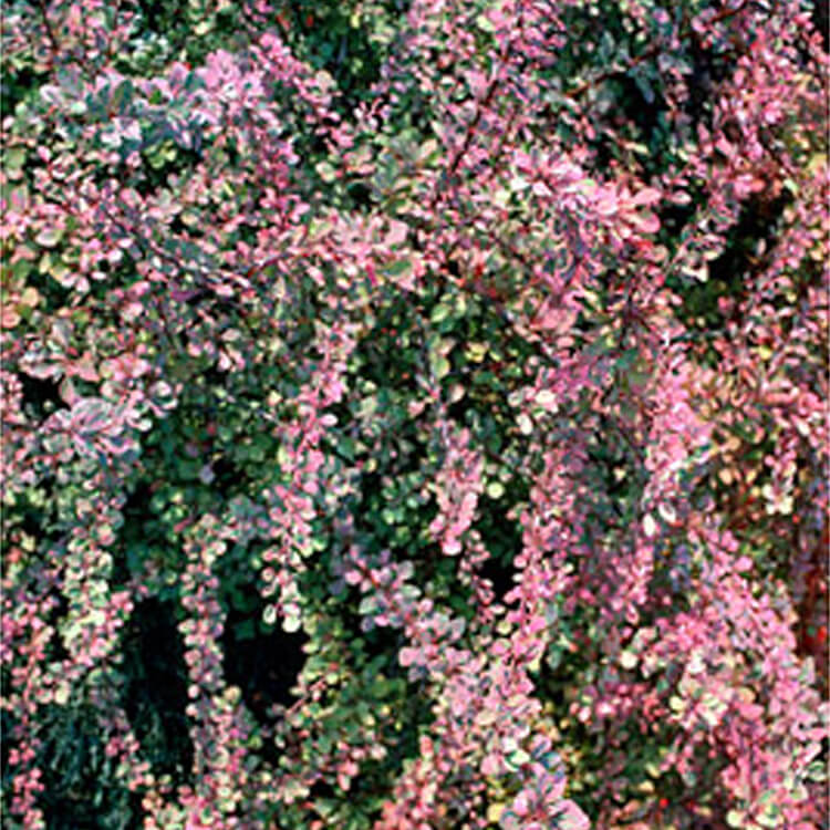 Berberis-thunbergii.-Japanese-barberry.-RHS.jpg
