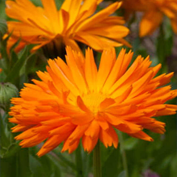 Calendula-officinalis.-Common-marigold.-RHS.jpg