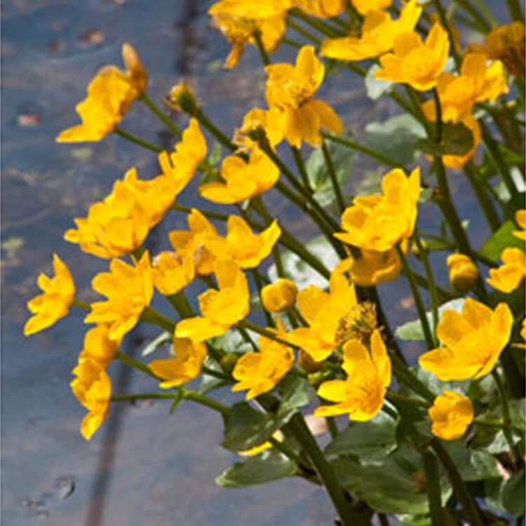 Caltha-palustris.-Marsh-Marigold.-RHS.jpg