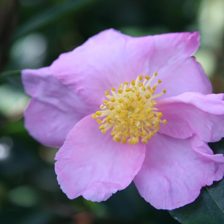 Camellia-species.jpg