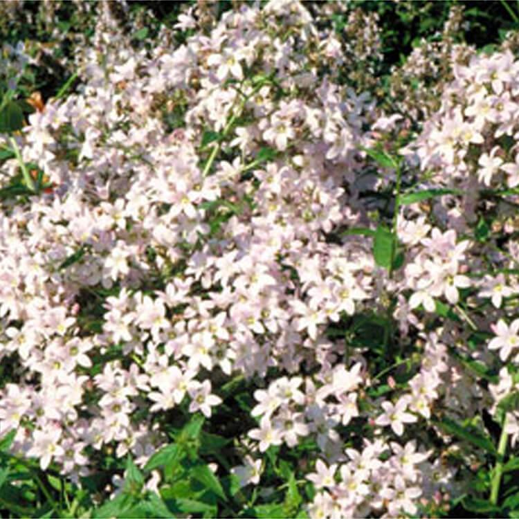 Campanula-lactiflora.-Milky-bellflower.-RHS.jpg