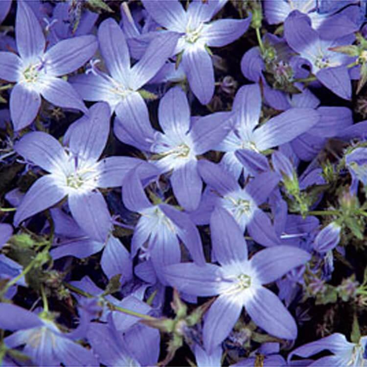 Campanula-poscharskyana.-Trailing-bellflower.-RHS.jpg