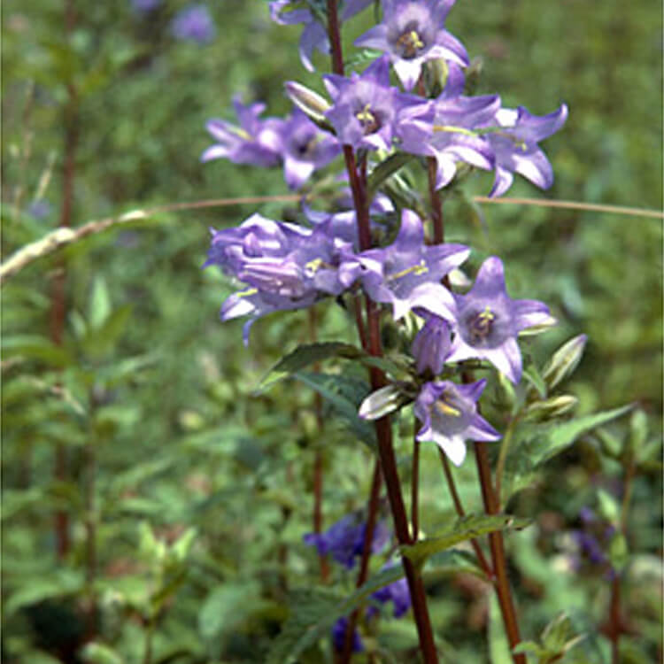 Campanula-trachelium.-Nettle-leaved-bellflower.-RHS.jpg