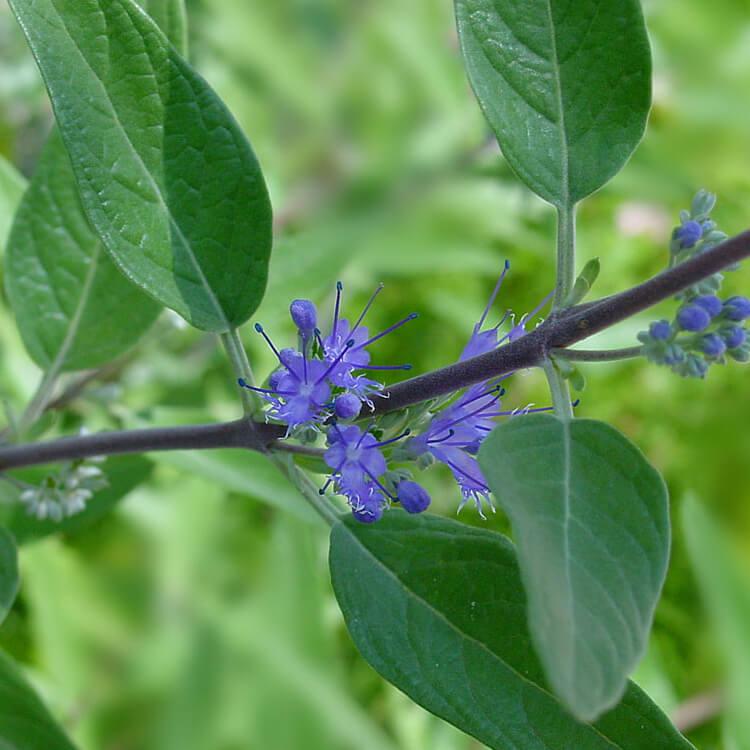 Caryopteris-x-clandonensis.-Caryopteris.-Wikimedia.jpg