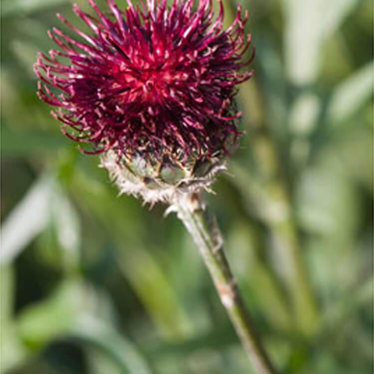 Centaurea-atropurpurea.-Purple-knapweed.-RHS.jpg