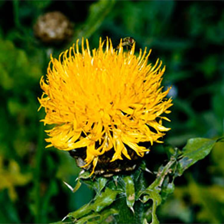 Centaurea-macrocephala.-Giant-knapweed.-RHS.jpg