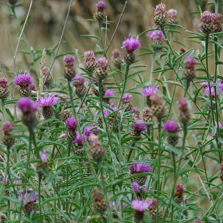 Centaurea-nigra.jpg