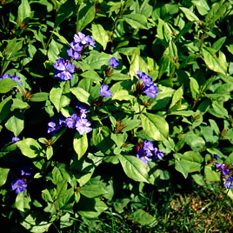 Ceratostigma-plumbaginoides.-Hardy-blue-flowered-leadwort.-RHS.jpg