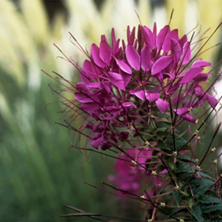 Cleome-hassleriana.-Spider-flower.-RHS.jpg