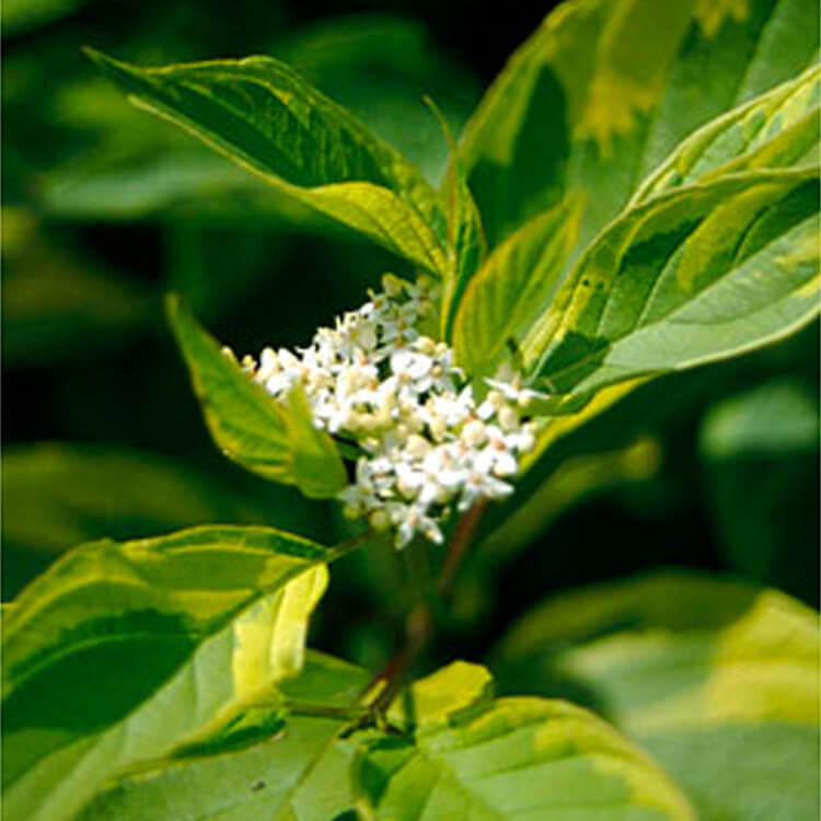 Cornus-alba.-Red-barked-dogwood.-RHS.jpg